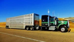 Cattle Truck Accident